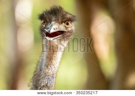 Australian Emu Also Known As Dromaius Novaehollandiae