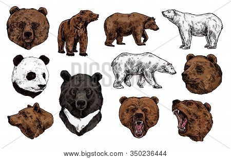 Bear Vector Sketch With Heads Of Predatory Animal. Wild Grizzly And Panda, Brown, Polar And Asian Bl