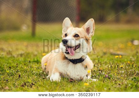 Portrait Of Red Corgi In The Parc, Close Up