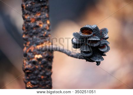 Charred Seed Pods Open After Bush Fires In Australia