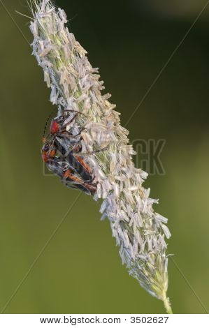 Contact - Soldier Beetle
