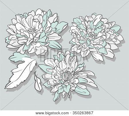 Set Of Chrysanthemum Flowers Isolated Vector. Hand Drawn Botanical Illustration.
