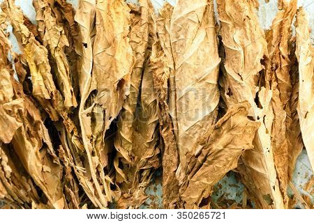 Golden Leaf Background. Dry Tobacco Leaf Under The Sun. Cigarette Ingredient Or Raw Material. Tobacc