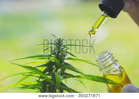 Hand Holding Pipette With Cannabis Oil Against Cannabis Plant, Cbd Hemp Oil, Medical Marijuana Oil C