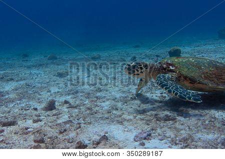 Hawksbill Sea Turtle (eretmochelys Imbricata) Photographed In Seychelles