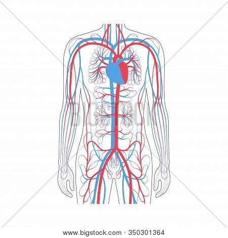Vector Isolated Illustration Of Human Arterial And Venous Circulatory System In Chest Anatomy. Blood