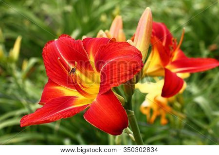 Fresh Beautiful Flowers Of A Hemerocallis With Bright Red Petals Against The Background Of Other Flo
