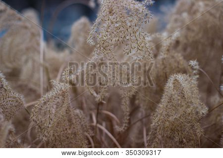 Miscanthus Or Silvergrass Plant With Fiber For Papermaking And Decorations Grass