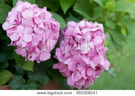Pink hydrangea flowers in clay pot