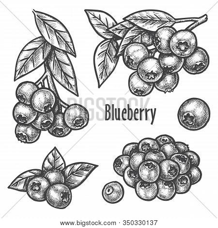 Blueberry Sketch, Berry Fruits Vector Hand Drawn Botanical Illustration. Blueberry Berry Plant And F