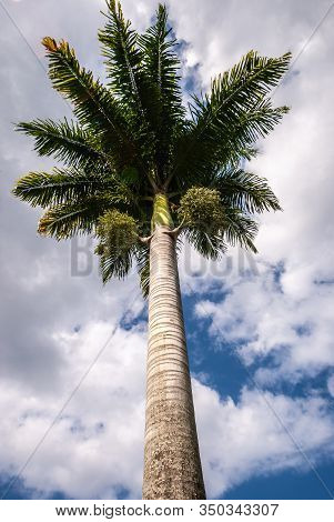 Hilo, Hawaii, Usa. - January 9, 2012: Closeup Of Green Palm Tree With Brown Trunk Against White Clou