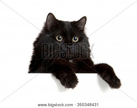 Black Cat above white banner. Cute kitten with empty blank board. Funny pet showing placard with space for text. Isolated on white background.