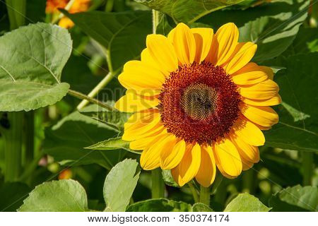 Sunflower Are Blooming With Sunshine  Natural Background
