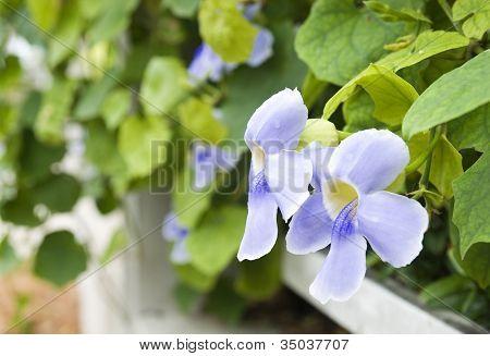 Bengal Clock Vine Or Sky Flower (thunbergia Grandiflora)