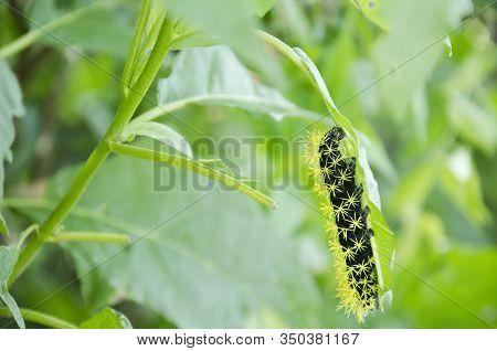 Caterpillar Of The Moth Leucanella Viridescens, In Its Last Instar, Black Body And Stinging Yellow B