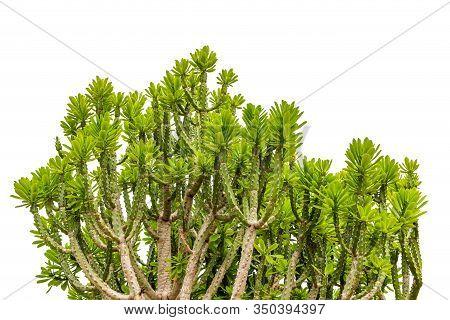 Green Ornamental Plants Isolated On White Background, Malayan Spurge Tree, Euphorbia Antiquorum L.