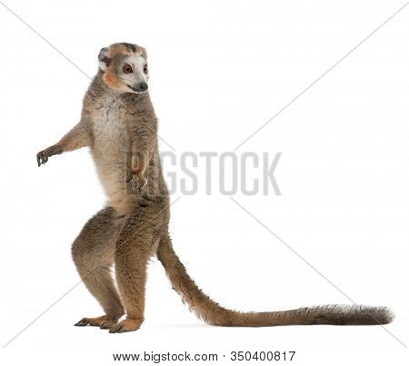 Crowned lemur, Eulemur coronatus, 19 years old, standing in front of white background