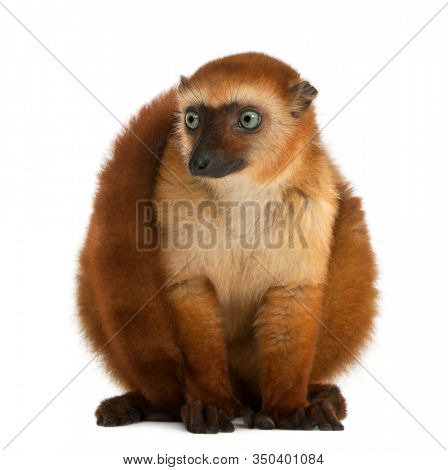 Female blue-eyed black lemur, Eulemur flavifrons, 3 years old, sitting in front of white background