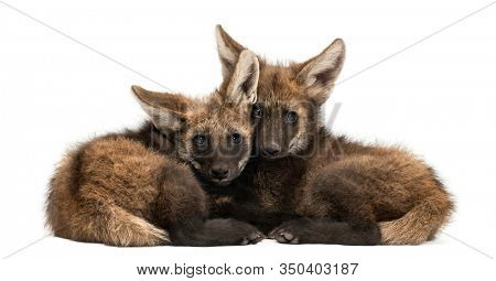 Two Maned Wolf cubs lying together, Chrysocyon brachyurus, isolated on white