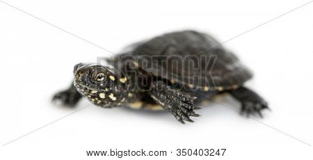 Young European pond turtle, Emys orbicularis, isloated on whiite