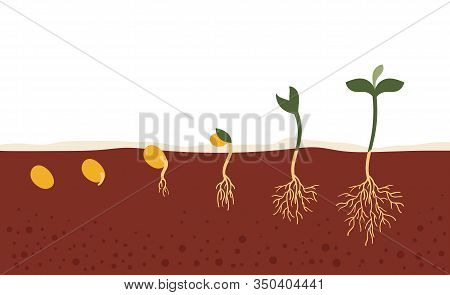 The Seed In The Ground.the Process Of Growth And Development.seed Germination In The Soil.stages, Ga