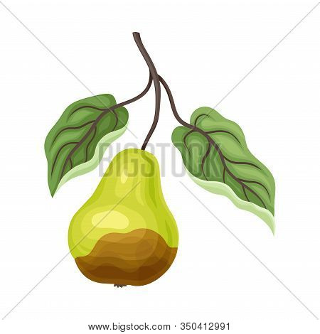 Spoiled And Rotten Pear Fruit With Skin Covered With Stinky Rot Vector Illustration