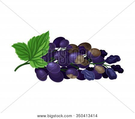 Spoiled And Rotten Grapes Cluster With Berries Covered With Stinky Rot Vector Illustration