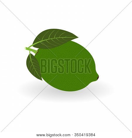 Vector Realistic Lime Icon With Shadow Isolated On White Background. Fresh And Juicy Lime. Fruit Ill