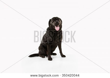 Lovely. Black Labrador Retriever Having Fun. Cute Playful Dog Or Purebred Pet Looks Playful And Cute