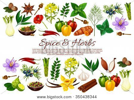 And Herb Food Seasonings Vector Banner With Borders Of Vegetable And Plant Condiments. Chilli, Mint
