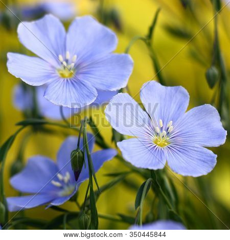 Blue Flowers Of Decorative Linum Austriacum And Its Runaways On A Yellow Background.
