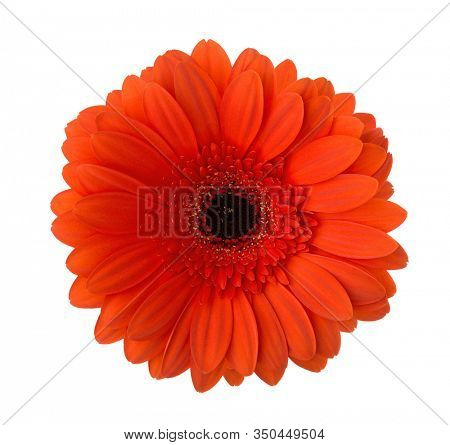 Gerbera flower of red-orange color isolated on white background.