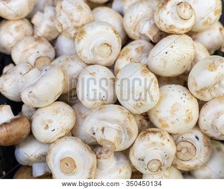 White Champignon Mushrooms, Backdrop Background. Many Mushrooms Close-up. Fresh Ripe Pure White Mush