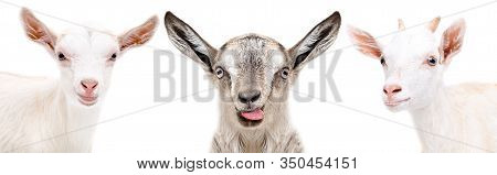 Portrait Of Two Cute White Goats And Gray Goat Showing Tongue Isolated On White Background