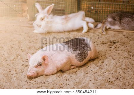 A Decorative Pig Or Piglet Is In A Paddock On A Farm