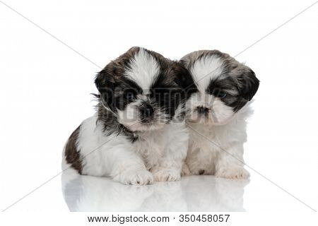 Bothered Shih Tzu cub frowning and hugging his sibling while sitting on white studio background