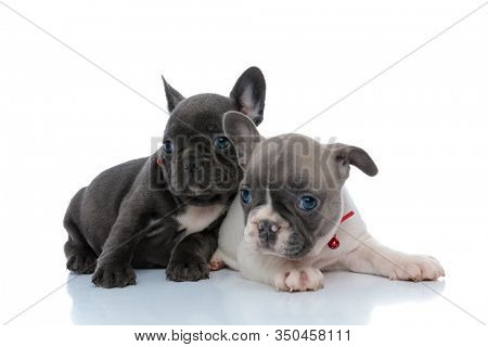 Two calm French bulldog puppies looking away and relaxing while laying down side by side on white studio background, wearing red collars