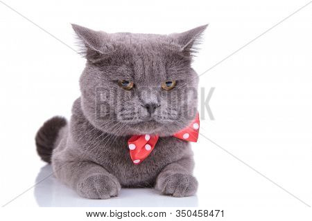Upset British Shorthair cat wearing bowtie and frowning while laying down on white studio background