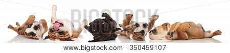 Five clumsy Bulldogs rolling on back and panting on white studio background