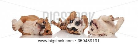 Three English bulldogs being clumsy and rolling on back on white studio background