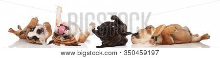 Four clumsy Bulldogs panting and rolling on their back on white studio background