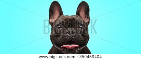 closeup of an adorable french bulldog puppy dog looking very happy and eager on blue background
