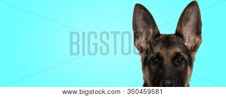 cute german shepherd puppy dog with big ear in an alert closeup pose on blue background