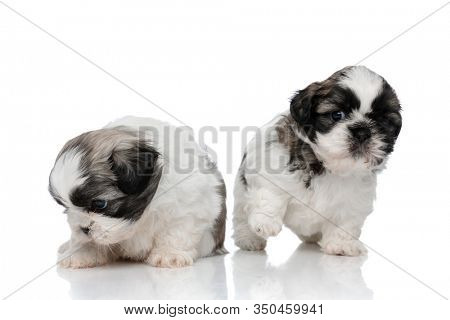 Clumsy Shih Tzu cubs playing around while stepping and sitting on white studio background