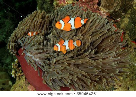 Clown Anemonefish (clownfish) fish on coral reef