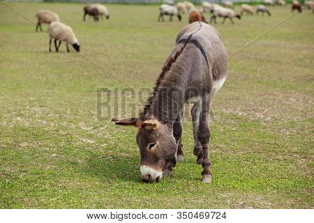 Young Donkey Grazes In A Green Meadow