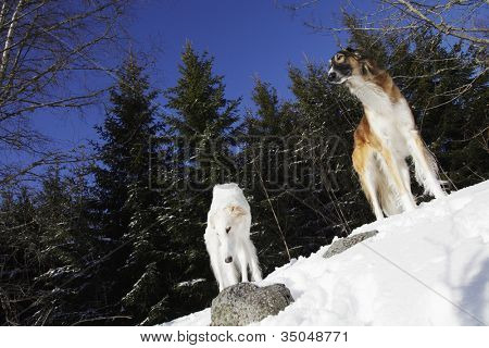 two borzoi dogs, sight-hounds known for racing and woolf hunting, snow and winter