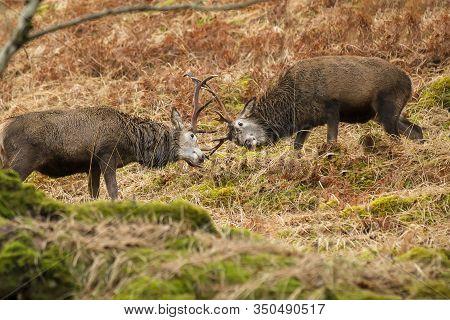 Male Reindeer With Locked Antlers During Rutting Season