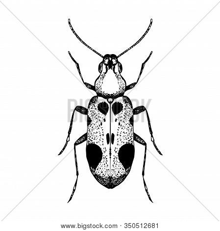 Hand Drawn Sketch Of Beetle. Vector Illustration Of Insect. Black And White Entomological Drawing Of
