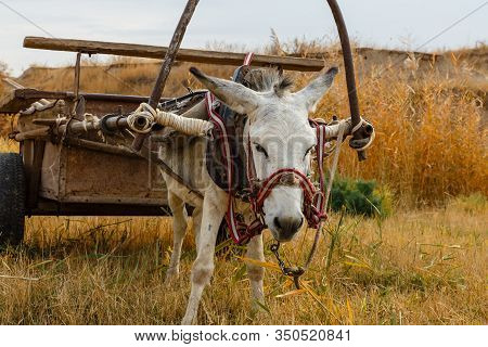 Donkey With A Cart In The Field. Little Donkey And Big Cart